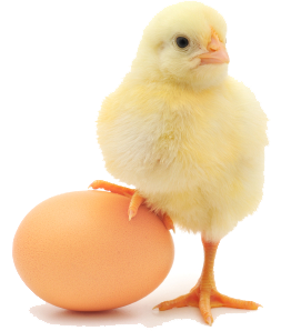 ChickenEgg-crop